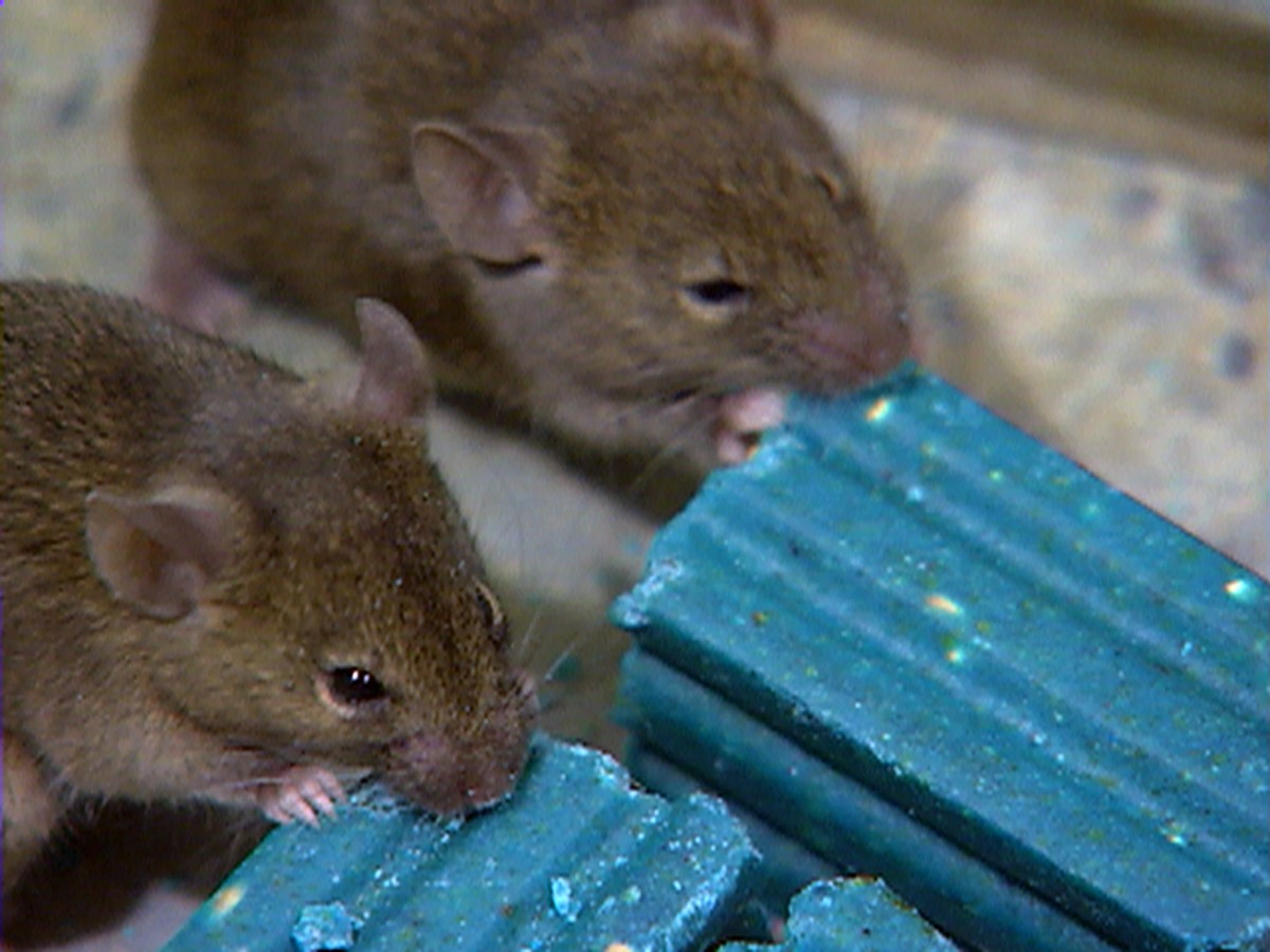Rodents: all kinds and other useful information